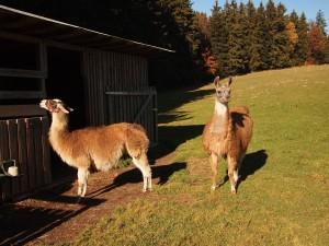 Waldwipfelweg Llamas
